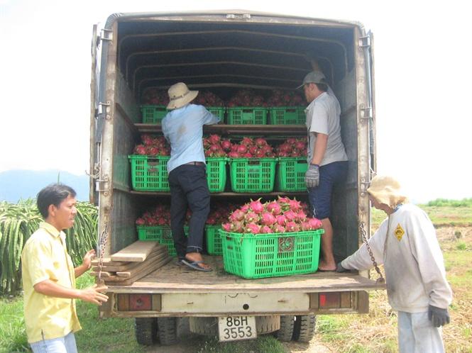 Kết quả hình ảnh cho Thanh long Bình Thuận không bị động trước thách thức truy xuất nguồn gốc
