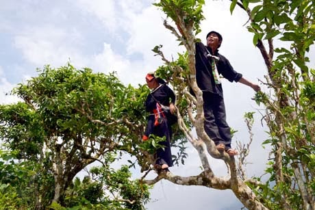 Chè búp tươi Shan Tuyết cổ thụ