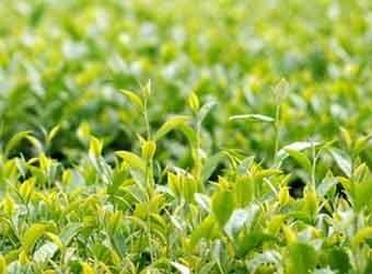 Chè búp tươi các giống: Phúc Văn Tiên, PT95, Keo Am Tích, PH1, LDP1, LDP2