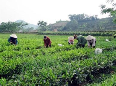 Kỹ thuật trồng và chăm sóc chè an toàn