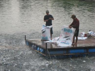 Hướng dẫn áp dụng VietGAP đối với nuôi thương phẩm cá tra (Pangasiannodon hypophthalmus)