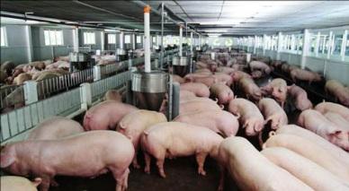 Hướng dẫn áp dụng VietGAHP/GMPs - Chuỗi sản xuất kinh doanh thịt lợn