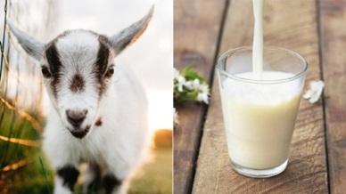Quy trình thực hành chăn nuôi Dê sữa theo VietGAHP