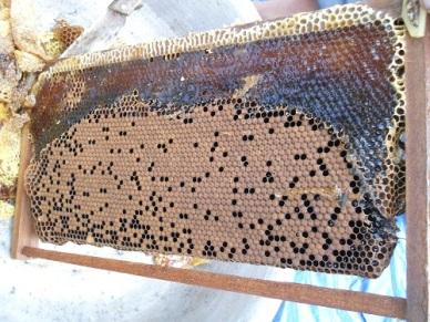 Quy trình thực hành chăn nuôi ong mật theo VietGAHP