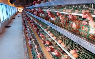 Nguyên nhân và biện pháp phòng tránh cho gà hậu bị đẻ sai kế hoạch
