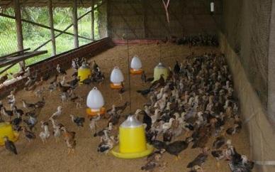 Quyết định số 2509/QĐ-BNN-CN về Qui chế chứng nhận và Qui trình thực hành chăn nuôi tốt cho chăn nuôi lợn, gà an toàn trong nông hộ