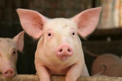 Quy trình thực hành chăn nuôi lợn theo VietGAHP