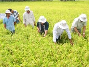 Cần Thơ: Sản xuất lúa sạch