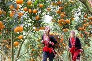 Hà Giang: Tái cơ cấu nông nghiệp 2016