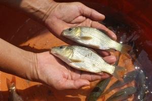 Phòng, chữa bệnh cho cá bằng thảo dược