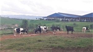Xử lý môi trường trong chăn nuôi bò sữa: Lối thoát nào?