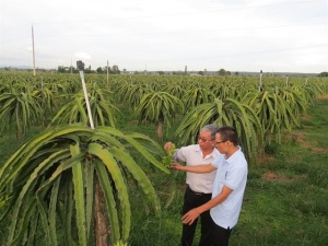 Trồng thanh long sạch, bền vững: Cứu cánh VietGAP