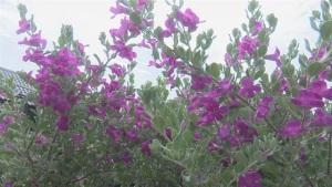 Tuyết sơn phi hồng ra hoa quanh năm, trồng không đủ bán