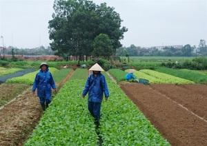 Kỳ vọng rau, hoa xứ gió Lào
