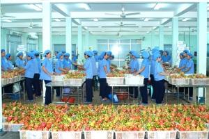 Thanh long Bình Thuận không bị động trước thách thức truy xuất nguồn gốc