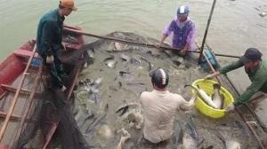 Liên kết nuôi cá vược VietGAP, cung ứng ra thị trường khoảng 2.000 tấn/năm