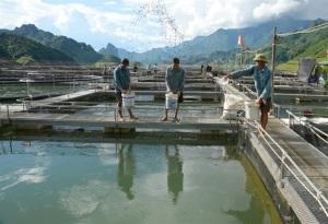 Nuôi cá tầm giữa lòng hồ thủy điện Sơn La