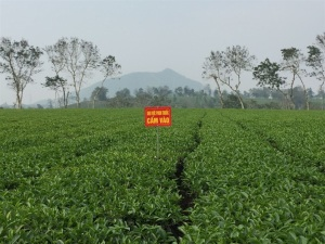 Chè Phú Đa tự hào thương hiệu Việt