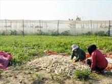 Sản xuất củ cải trắng đạt tiêu chuẩn VietGAP