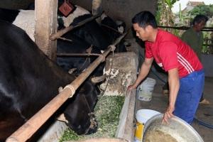 Nuôi bò sữa nông hộ mang lại thu nhập hàng trăm triệu/năm