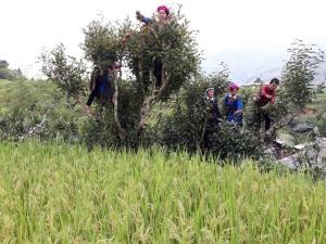 Chứng nhận chỉ dẫn địa lý chè Shan tuyết Hà Giang