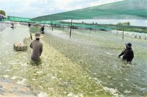 ĐBSCL tăng tốc tôm nuôi nước lợ, kỳ vọng trúng mùa, trúng giá
