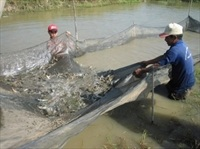 Kiên Giang: 4,3 tỷ đồng ngăn ngừa dịch bệnh thủy sản