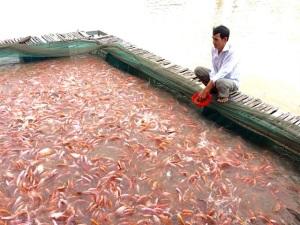 Công nhận nhãn hiệu cá điêu hồng Bình Thạnh