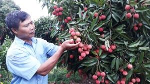Doanh nghiệp Trung Quốc nói gì về quả vải Việt Nam?
