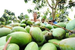 Nở rộ phong trào trồng xoài Đài Loan ở ĐBSCL, thu 500 triệu đồng/ha, năm