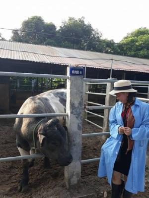 Hà Nội đi đầu phát triển bò BBB