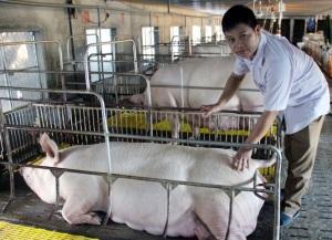 Bỏ phố lên rừng nuôi lợn sạch kiếm tiền tỷ mỗi năm