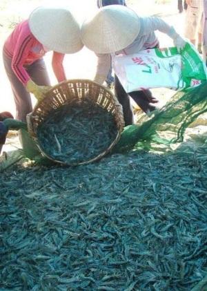 Người nuôi tôm Bình Định được mùa, trúng giá sau nhiều năm thất bại
