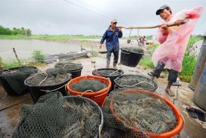 Xây dựng thương hiệu - lấy con tôm sú sạch Việt Nam làm nền tảng thương hiệu?