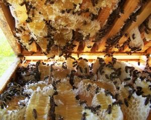 Nuôi ong mật chất lượng cao