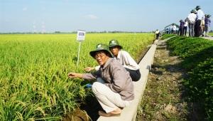 OM9577 được bình chọn giống lúa mới triển vọng nhất