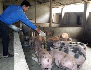 Chăn nuôi lợn nông hộ, những vấn đề đặt ra
