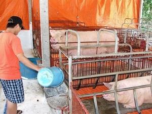 Nỗ lực tìm đường ra cho chăn nuôi