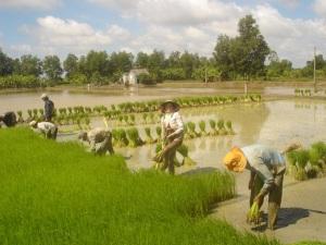 Bón lót trong canh tác lúa thế nào cho hiệu quả?