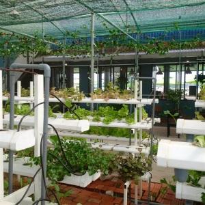 Độc đáo mô hình trồng rau thủy canh kết hơp