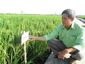 Sản xuất lúa giống chất lượng cao