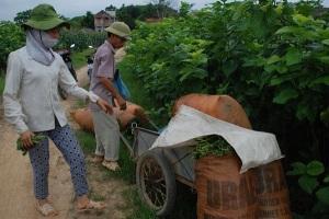 Trấn Yên kiếm tiền tỷ từ trồng dâu nuôi tằm