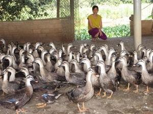 Người nuôi vịt trời bán hoang dã có tiếng ở Cẩm Khê