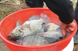 Hiệu quả nuôi cá rô phi VietGAP