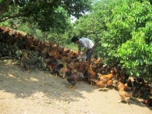 Gà đồi Yên Thế chăn nuôi theo chuỗi sẵn sàng chờ thị trường tết