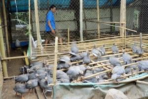 Mô hình nuôi gà sao trên đất Tây Đô, lãi 250-300 triệu đồng/năm