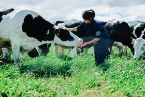 Đà Nẵng quy hoạch trang trại bò sữa hơn 120 ha
