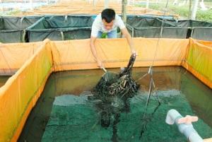 Nuôi lươn giống và thương phẩm lãi 600 triệu đồng/năm