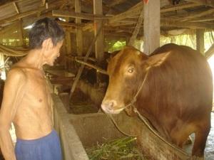 Phát triển đàn bò thịt cao sản