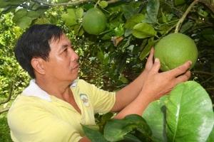 Năm qua vườn bưởi của anh Hưng thu hoạch khoảng 25 tấn trái, với giá bán bình quân 40.000 đ/kg, thu nhập mang lại cho gia đình hơn 1 tỷ đồng/năm.